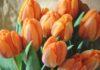 ดอกทิวลิปนักเดินทางข้ามศตวรรษ